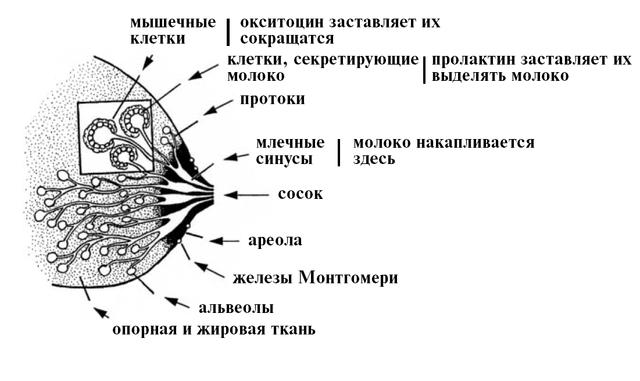 laktatsiyagv2